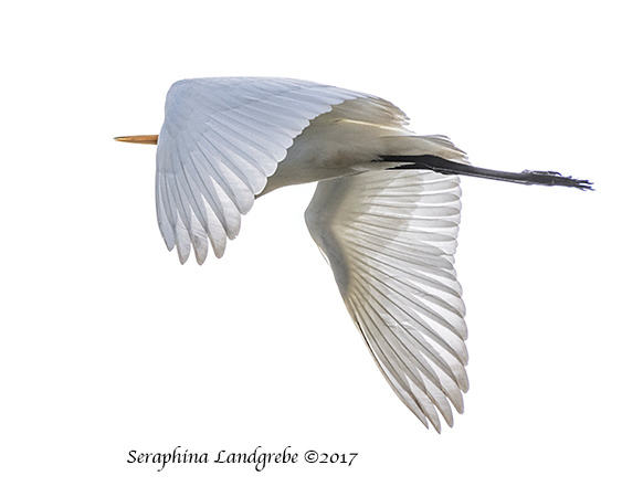 _DSC8663Great Egret.jpg