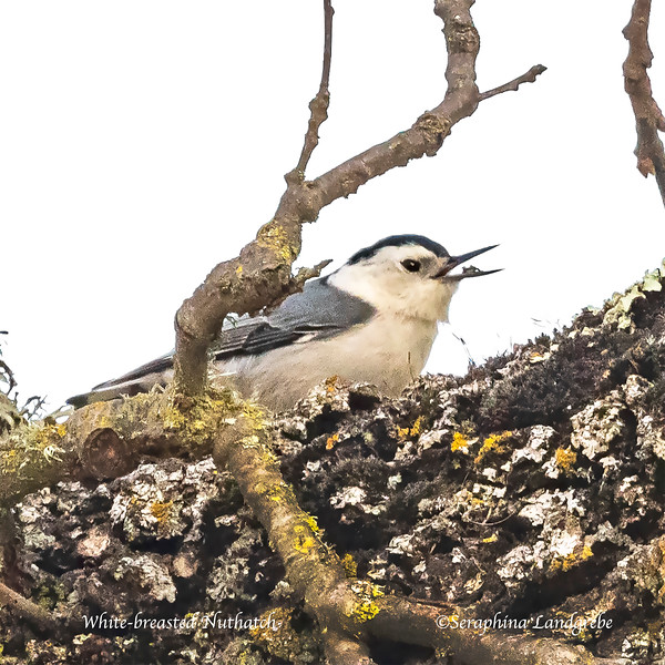 _DSC3893White-breasted Nuthatch.jpg