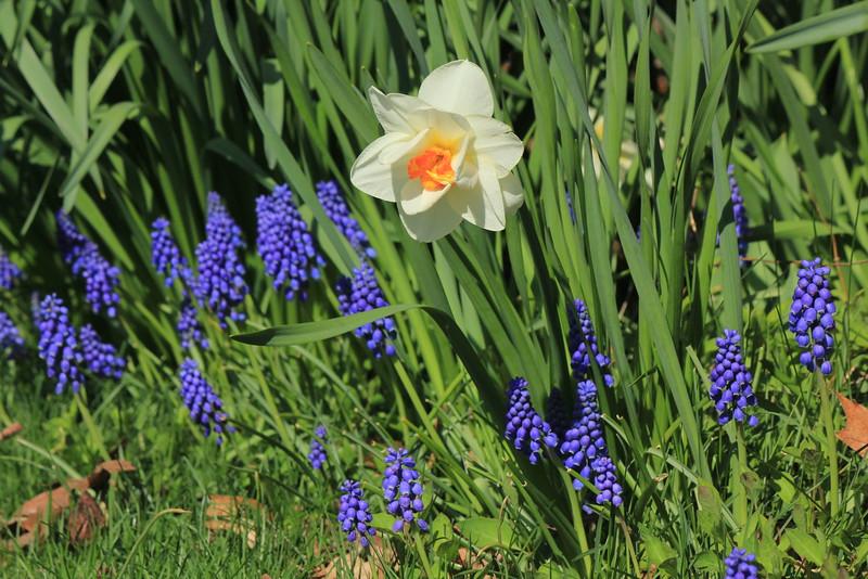 Daffodil - Grape Hyacinth