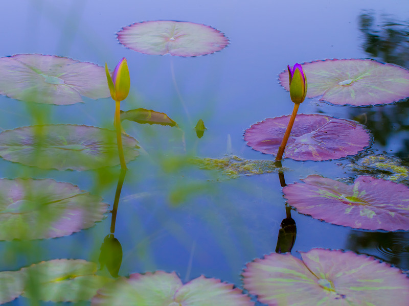 Lily  Pond 22