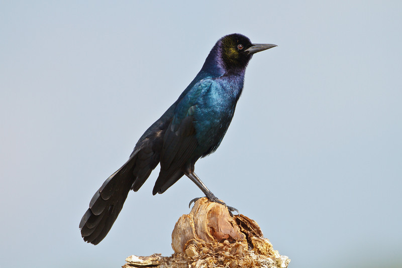 Boat-tailed Grackle, Viera Wetlands