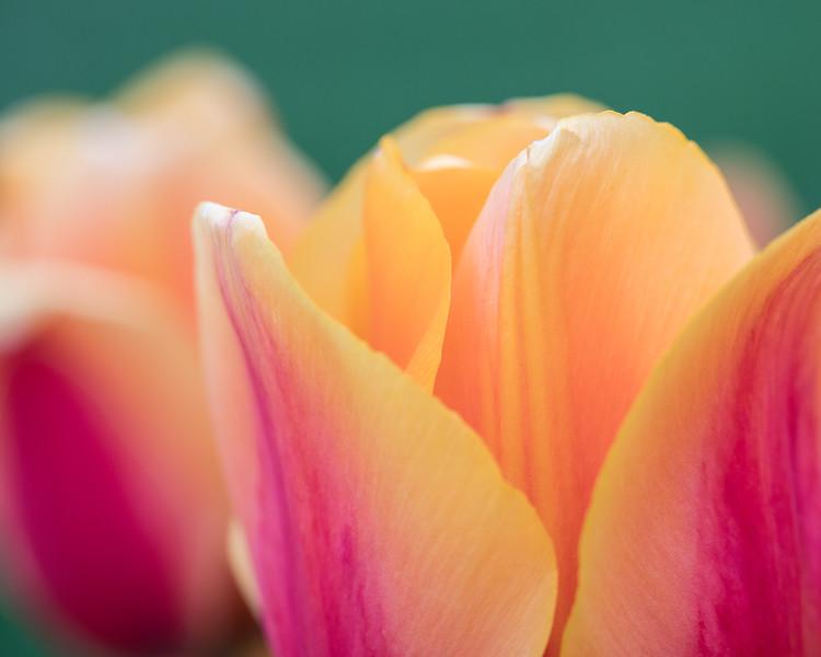 tulip-cash.jpg