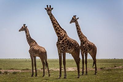 Giraffes in the Serengeti.