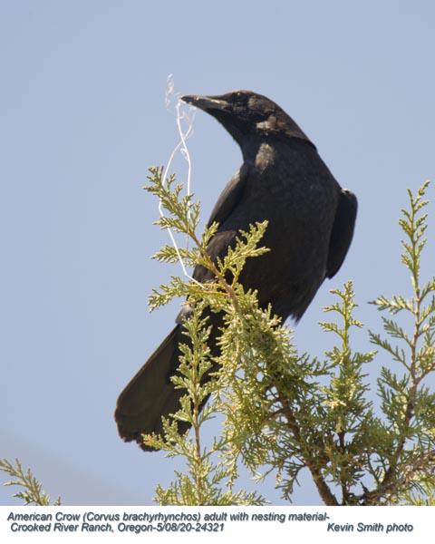 American Crow A24321.jpg