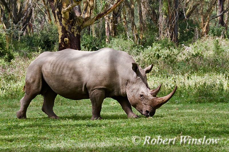 Rhinos - White
