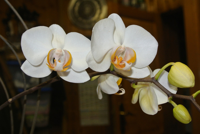 2013-05-05 Orchid 'Remi' 04.JPG