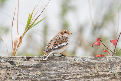 Nov, 27, 2016 - Snow Buntings