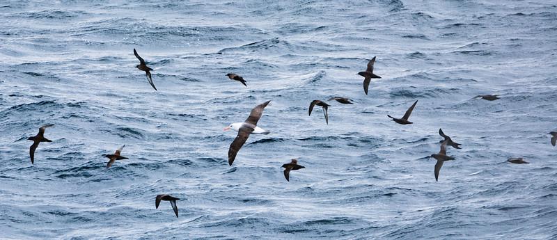 Albatross_Sooties.jpg