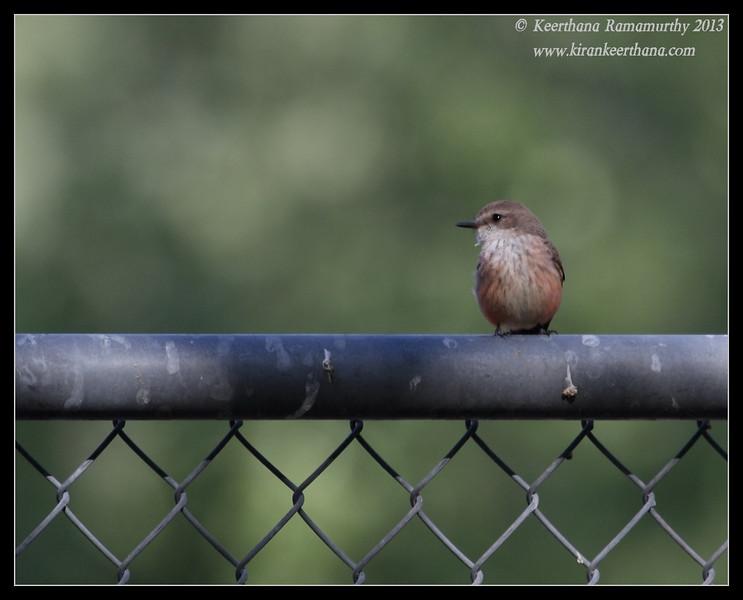 Vermilion Flycatcher female, Covington Park, Morongo Valley, Riverside County, California, May 2013