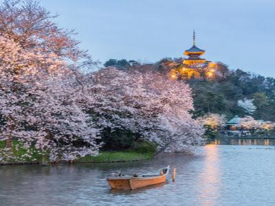 Cherry blossoms in the evening at Sankeien Garden, Yokohama, image copyright Sakarin Sawasdinaka / Shutterstock.com