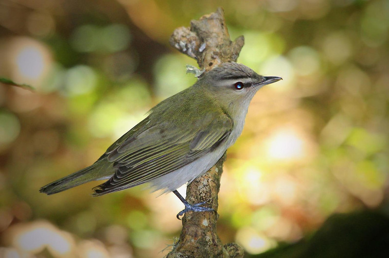 Red-eyed Vireo, High Island drip.