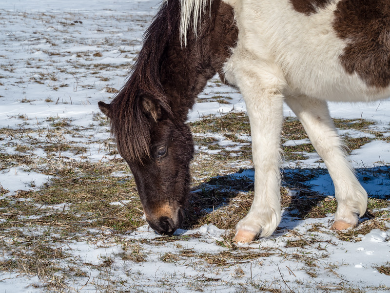 60 Mar 1 pony grazing in snow Grayson xxx (1 of 1).jpg