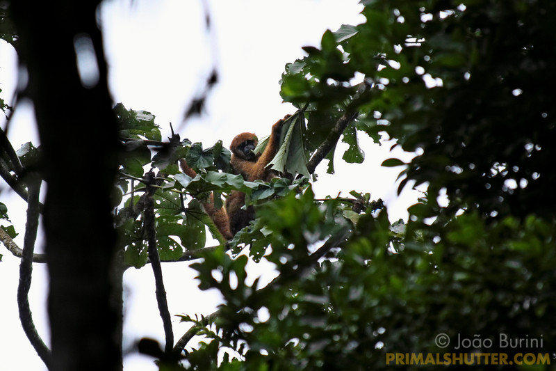 Southern muriqui (Southern muriqui) eating cecropia leaves in the rain, endangered species in Intervales State Park, Brazil. South-east atlantic forest reserve, UNESCO World Heritage Site.