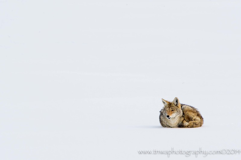 Coyote's Harsh Winter Antelope Island State Park Utah © 2014