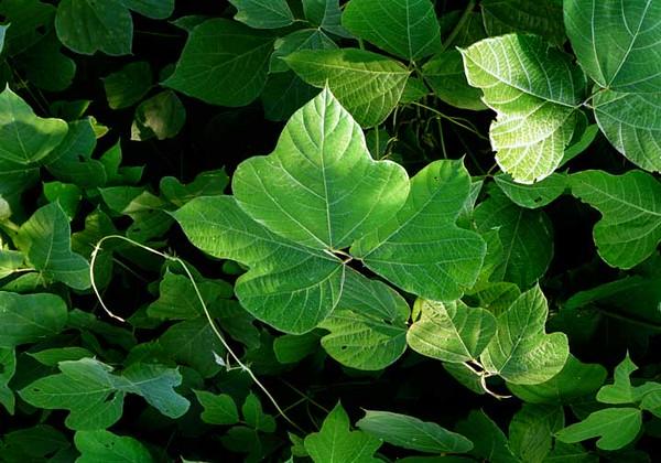 kudzu leaves.jpg