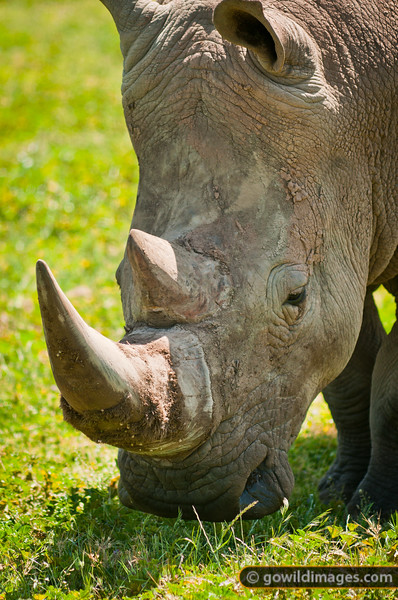 Southern White Rhinoceros. Other angles available.