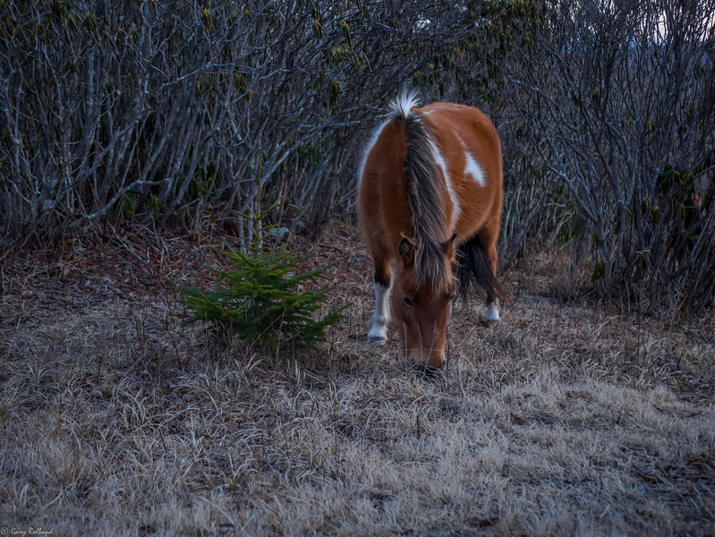 06 Jan 19 Grayson Pony Grazing (1 of 1).jpg