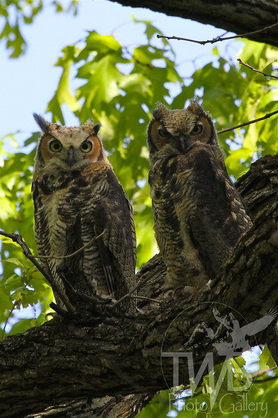 Great Horned Owlet siblings in Forest Park, St. Louis, Missouri.