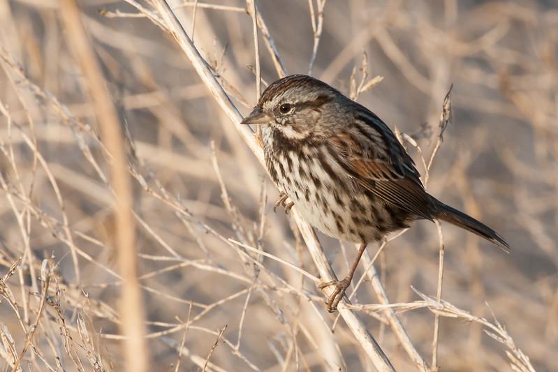 Song Sparrow - Alviso, CA, USA