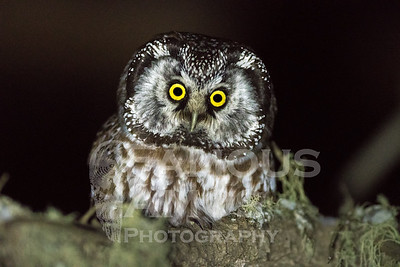 Owl-Boreal Owls