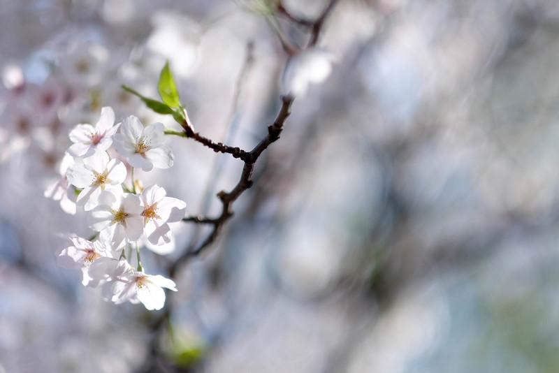 Namsan_Cherry_Blossoms_PhotoWalk-0013.jpg