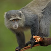 Blue monkey or diademed monkey (Cercopithecus mitis) in Lake Manyara national park in north Tanzania