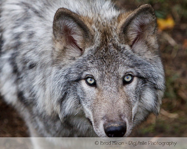 Wolves, Other Canines