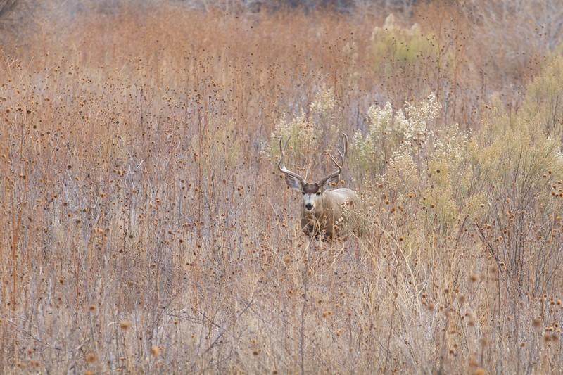 Mule Deer buck Bosque del Apache NWR Socorro NM IMG_0007521.dng.jpg