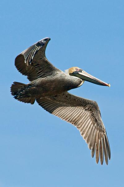 Pelican - Brown - Crooked Island, FL