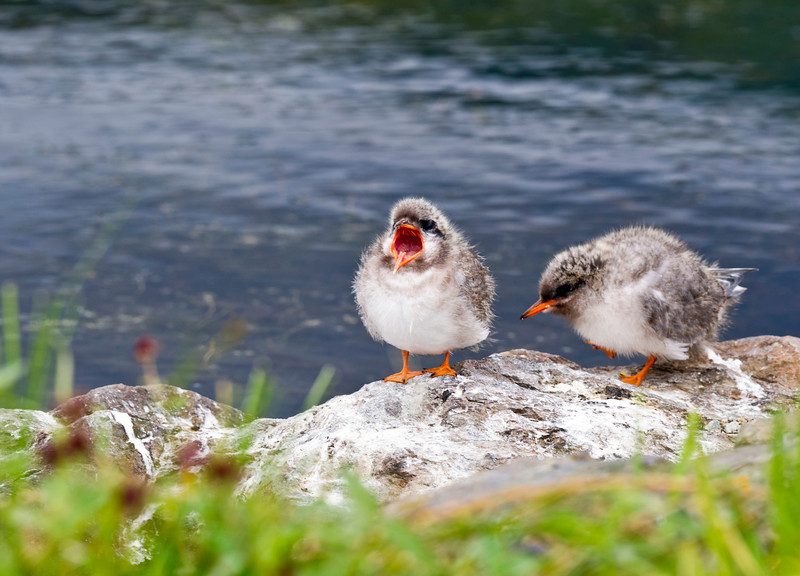 Arctic Tern Chicks Potters Marsh Anchorage, Alaska © 2011