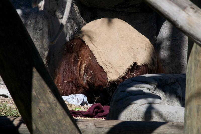 Anti-social orangutan