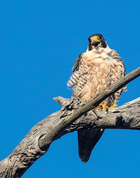 falcon 1.jpg