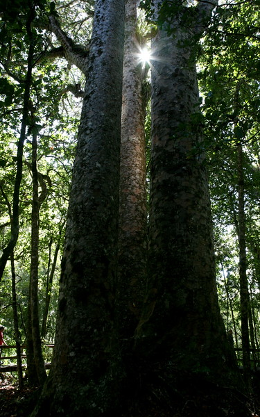 Kauribäume im Wapoura Forest