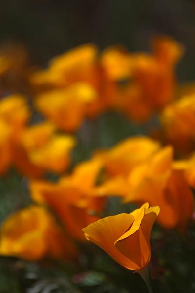 Palmdale Poppy Fields