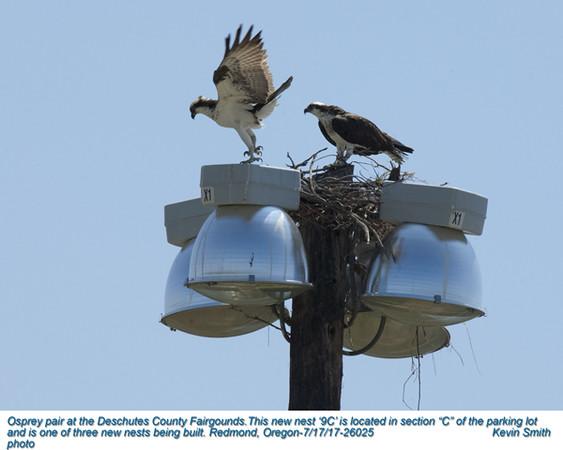 Ospreys P26025.jpg