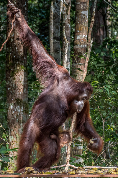 Mother and baby searching for bananas.