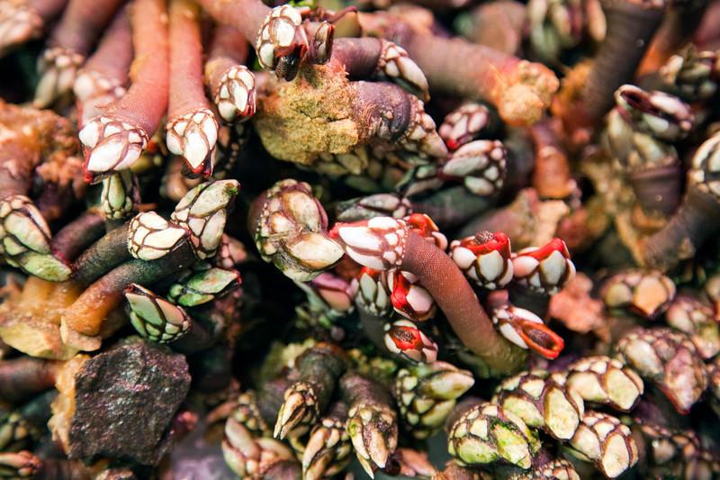 Goose barnacle, Boqueria market, town of Barcelona, autonomous commnunity of Catalonia, northeastern Spain
