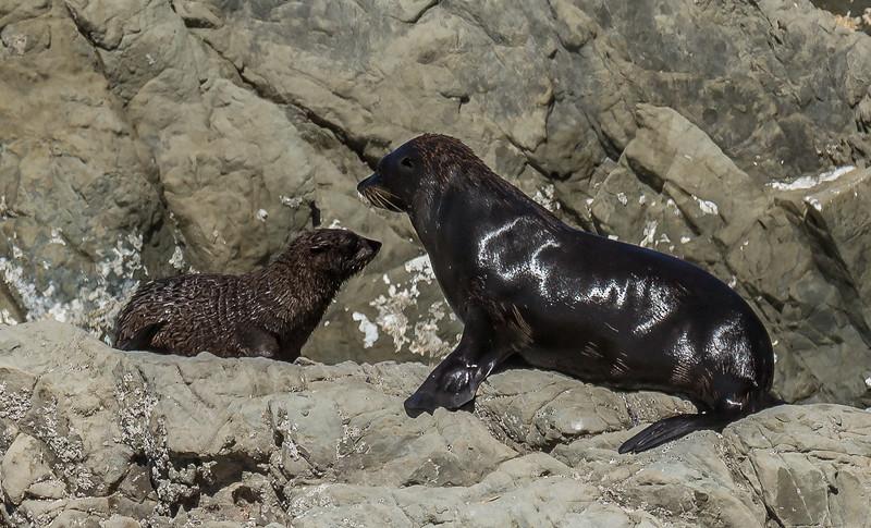 Seebärennachwuchs bei «Ohau Point»