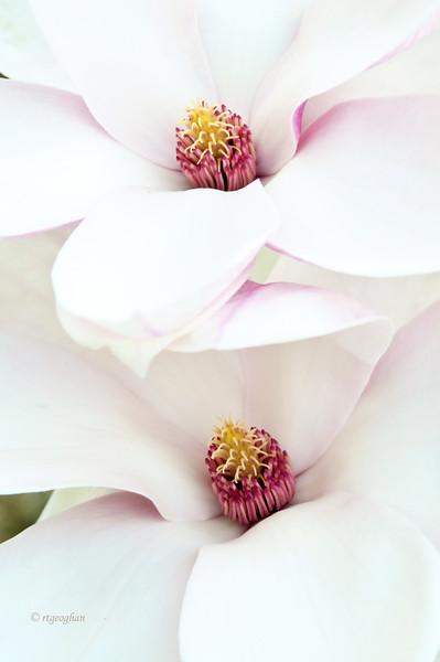 Mar 22_Pink Magnolia Blossoms_5645.jpg