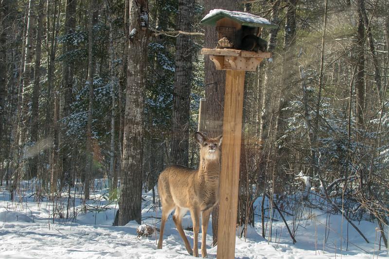 White-tailed Deer at bird feeders Skogstjarna Carlton County MNSNY04409.jpg