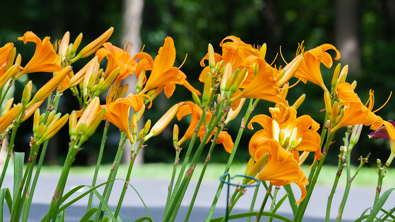 20190730 Daylilies and Butterfly-6638.jpg