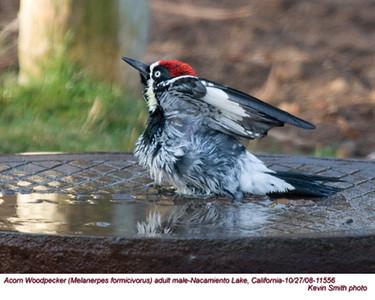 AcornWoodpeckerM11556.jpg