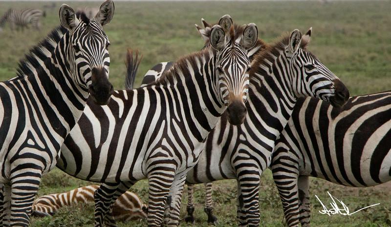 ZebraS Rev-1.jpg