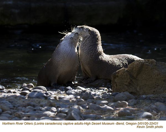 Northern River Otters AC22431.jpg