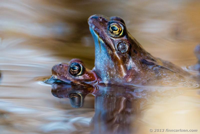 Butsnudet frø (Common Frog - Rana temporaria)