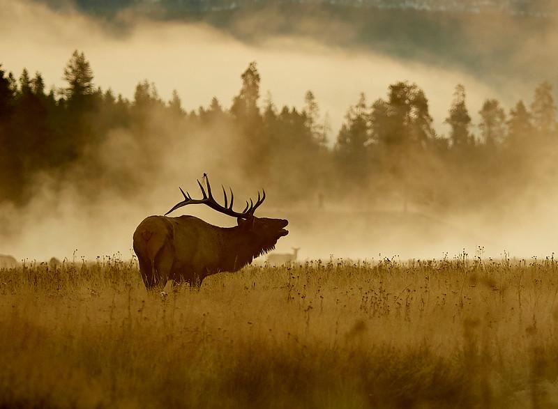 Elk stag calling