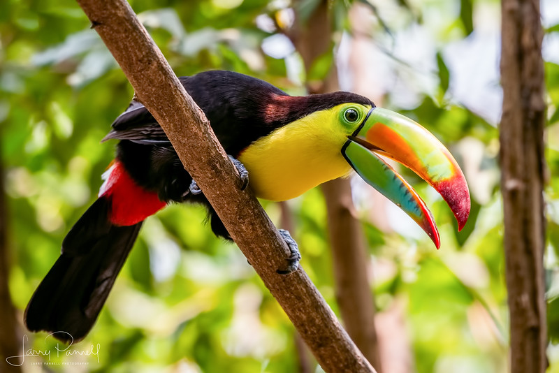 Keel Billed Toucan - Singing