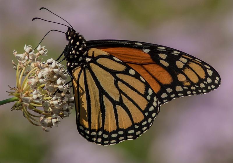 Monarch Moment