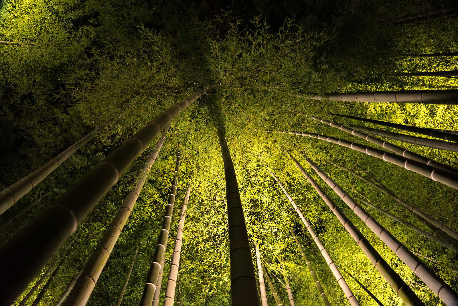kodaiji bamboo night