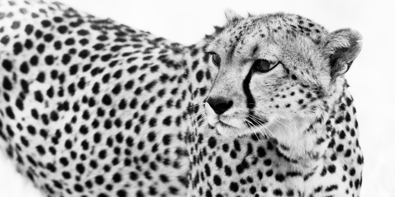 Cheetah in BW.